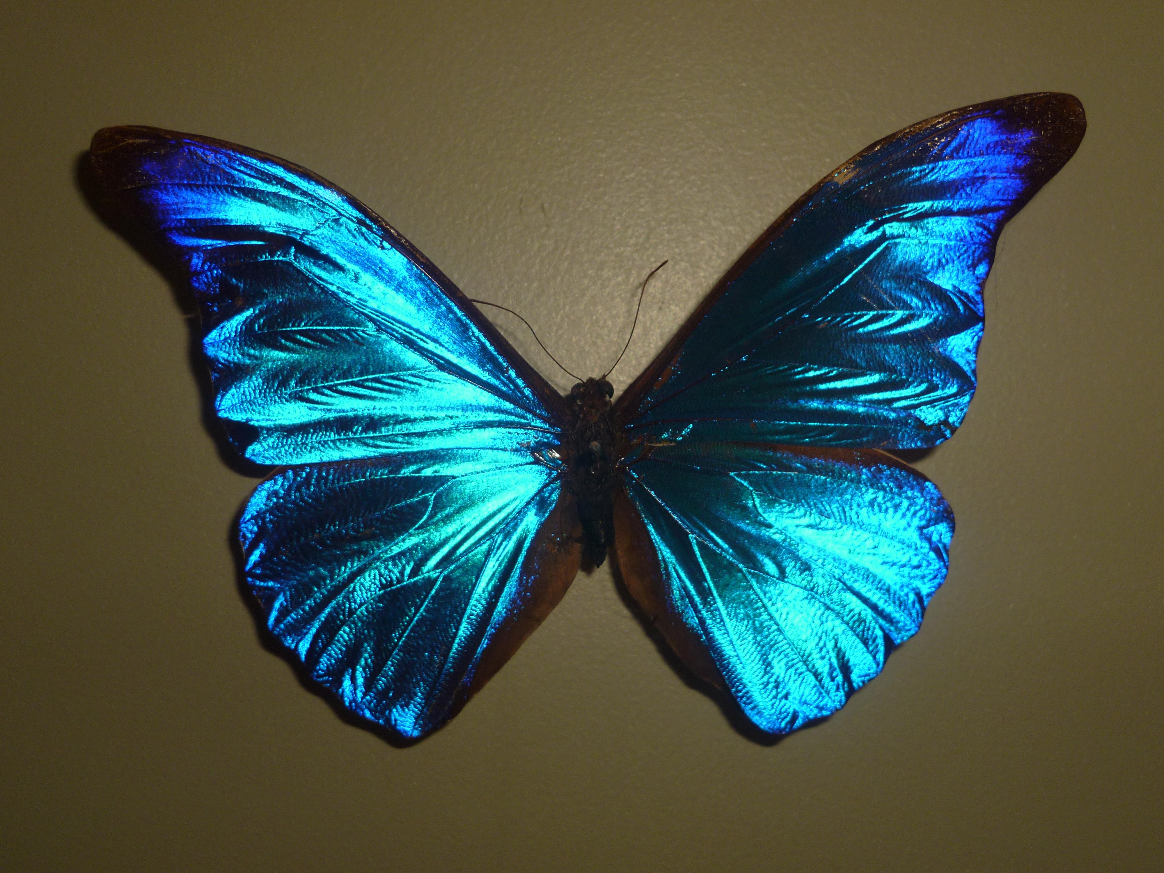 les couleurs irises et mtallises des ailes sont souvent des couleurs optiques elles sont obtenues par rflexion et interfrence de la lumire sur la - Image De Papillon