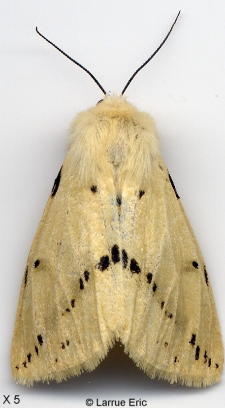 Afbarthropodes licensed for non commercial use only - Papillon de nuit dangereux ...